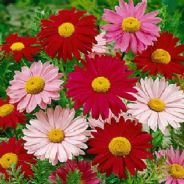 Tanacetum Robinsons GIANT mixed 100 seeds